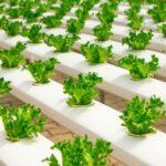O que é e como funciona a Hidroponia? – Plantações Hidropônicas